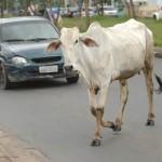boi-animal-asfalto-estrada-rua